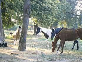 pferde_im_garten